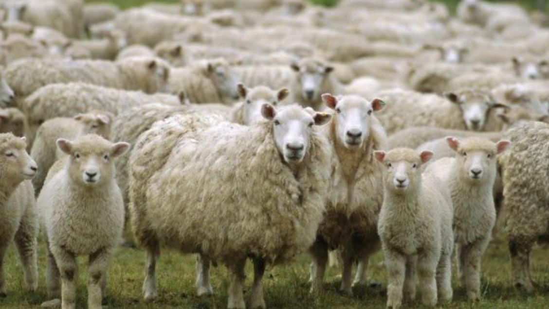 Αποτέλεσμα εικόνας για png images προβατα