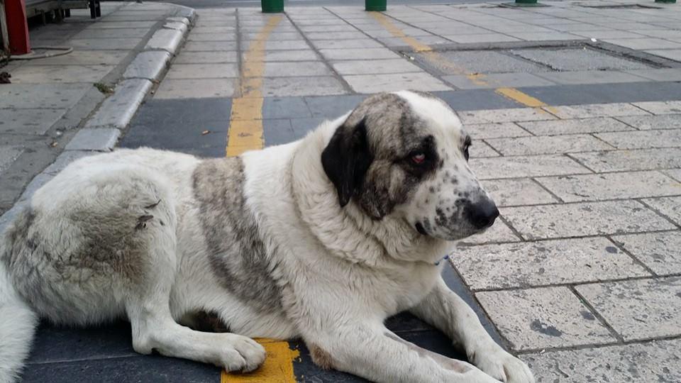 Αρσενικός που αράζει εδώ και περίπου εννιά χρόνια έξω από το pet shop στη  Βασιλέως Ηρακλείου και το βράδυ μπαίνει και κοιμάται μέσα στο μαγαζί. e58a5c6ed61